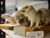 Viron luonnontieteellinen museo - Eläintieteelliset kokoelmat